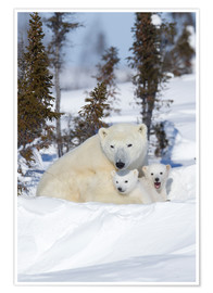 Poster Premium  Polar bear (Ursus maritimus) and cubs, Wapusk National Park, Churchill, Hudson Bay, Manitoba, Canada - David Jenkins