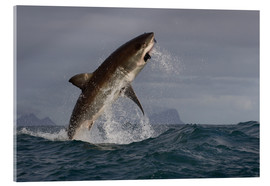 Vetro acrilico  Great white shark (Carcharodon carcharias), Seal Island, False Bay, Simonstown, Western Cape, South - David Jenkins