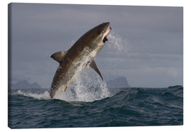 Stampa su tela  Great white shark (Carcharodon carcharias), Seal Island, False Bay, Simonstown, Western Cape, South - David Jenkins