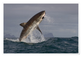 Poster Premium  Great white shark (Carcharodon carcharias), Seal Island, False Bay, Simonstown, Western Cape, South - David Jenkins
