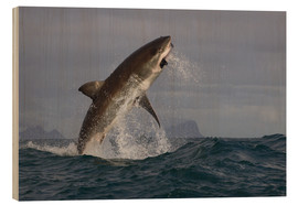 Stampa su legno  Great white shark (Carcharodon carcharias), Seal Island, False Bay, Simonstown, Western Cape, South - David Jenkins
