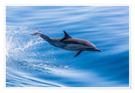 Poster Premium  Long-beaked common dolphin leaping - Michael Nolan