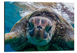 Stampa su alluminio  Green sea turtle - Michael Nolan