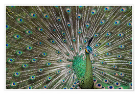 Poster Premium  Java green peafowl (Pavo muticus) - Gabrielle & Michel Therin-Weise