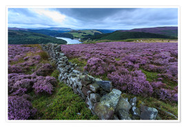 Poster Premium  Heather covered Bamford Moor and dry stone wall - Eleanor Scriven