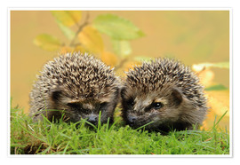 Poster Premium two little hedgehog