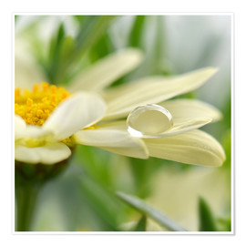 Poster Premium Daisy with drops