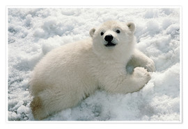 Poster  Young polar bear in the snow - Mark Newman