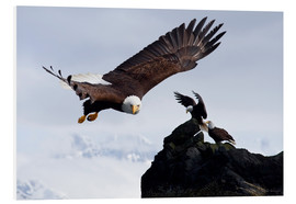Stampa su schiuma dura  Bald Eagle in flight - John Hyde