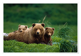 Poster Premium Grizzly Bear Mother and Cubs