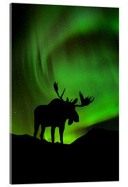Stampa su vetro acrilico  Moose silhouetted against the Northern Lights - John Hyde