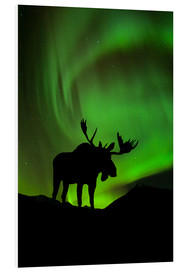 Stampa su schiuma dura  Moose silhouetted against the Northern Lights - John Hyde
