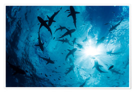 Poster Premium  Grey Reef Sharks - Dave Fleetham