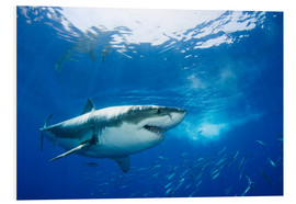 Forex  Great White Shark in front of Guadalupe - Dave Fleetham