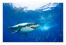 Poster Premium  Great White Shark in front of Guadalupe - Dave Fleetham