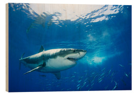 Legno  Great White Shark in front of Guadalupe - Dave Fleetham