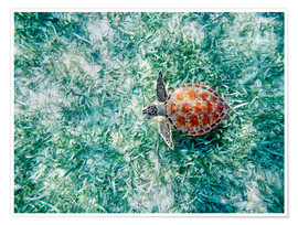 Poster Premium  Green sea turtle from above - M. Swiet