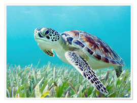 M. Swiet - Hawaii, Green Sea Turtle (Chelonia Mydas) An Endangered Species.