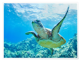 Poster Premium  Green sea turtle off Hawaii - M. Swiet