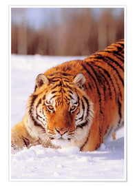 Poster Premium Siberian Tiger in the snow