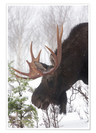 Poster Premium  Moose in Winter - Philippe Henry