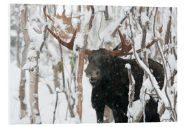 Forex  Elk sniffing in a winter forest - Philippe Henry