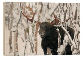 Philippe Henry - Elk sniffing in a winter forest