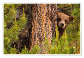 Poster Premium Grizzly bear behind a tree