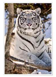 Poster Premium  White Bengal Tiger - Chad Coombs