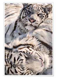 Poster  White Bengal Tiger - Chad Coombs