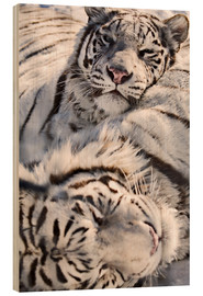 Stampa su legno  White Bengal Tiger - Chad Coombs