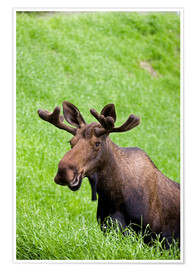 Poster Premium  Bull Moose in the Grass - John Delapp