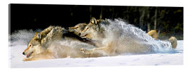 John Hyde - A pack of grey wolves in deep snow