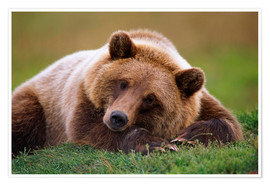 Poster Premium  Lying brown bear - Doug Lindstrand