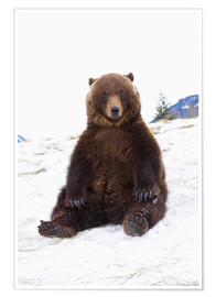 Poster Premium Grizzly sitting in the snow