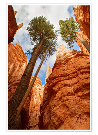 Poster Premium Pine at Bryce Canyon, Utah