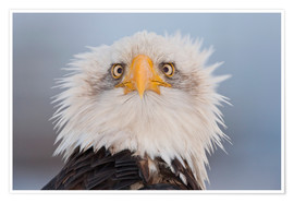 Poster Premium  Young Bald Eagle - Kent Fredriksson