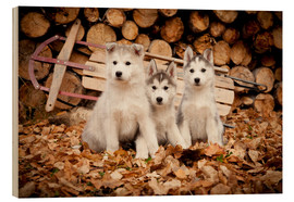 Legno  Husky puppies - Jeff Schultz