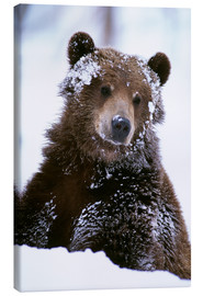 Stampa su tela  Grizzly in the snow - Doug Lindstrand