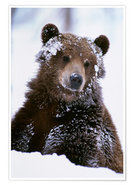 Poster Premium  Grizzly in the snow - Doug Lindstrand