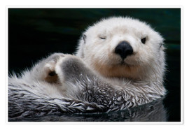 Poster Premium  Sleepy Sea Otter - Mark Newman