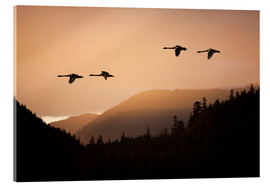 Stampa su vetro acrilico  Swans in flight at sunset - John Hyde