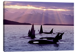 Stampa su tela  Orcas in the evening - John Hyde