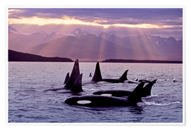 Poster  Orcas in the evening - John Hyde