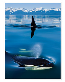 Poster  Whales in front of the Range Mountains - John Hyde