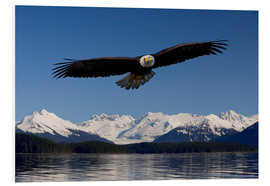 Stampa su schiuma dura  Bald Eagle in Tongase National Forest - John Hyde