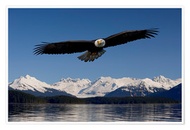 Poster Premium  Bald Eagle in Tongase National Forest - John Hyde