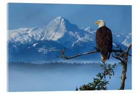 Stampa su vetro acrilico  Bald Eagle on a Spruce - John Hyde