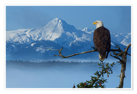 Poster Premium  Bald Eagle on a Spruce - John Hyde