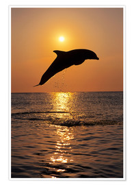 Poster Premium Dolphin in the sunset